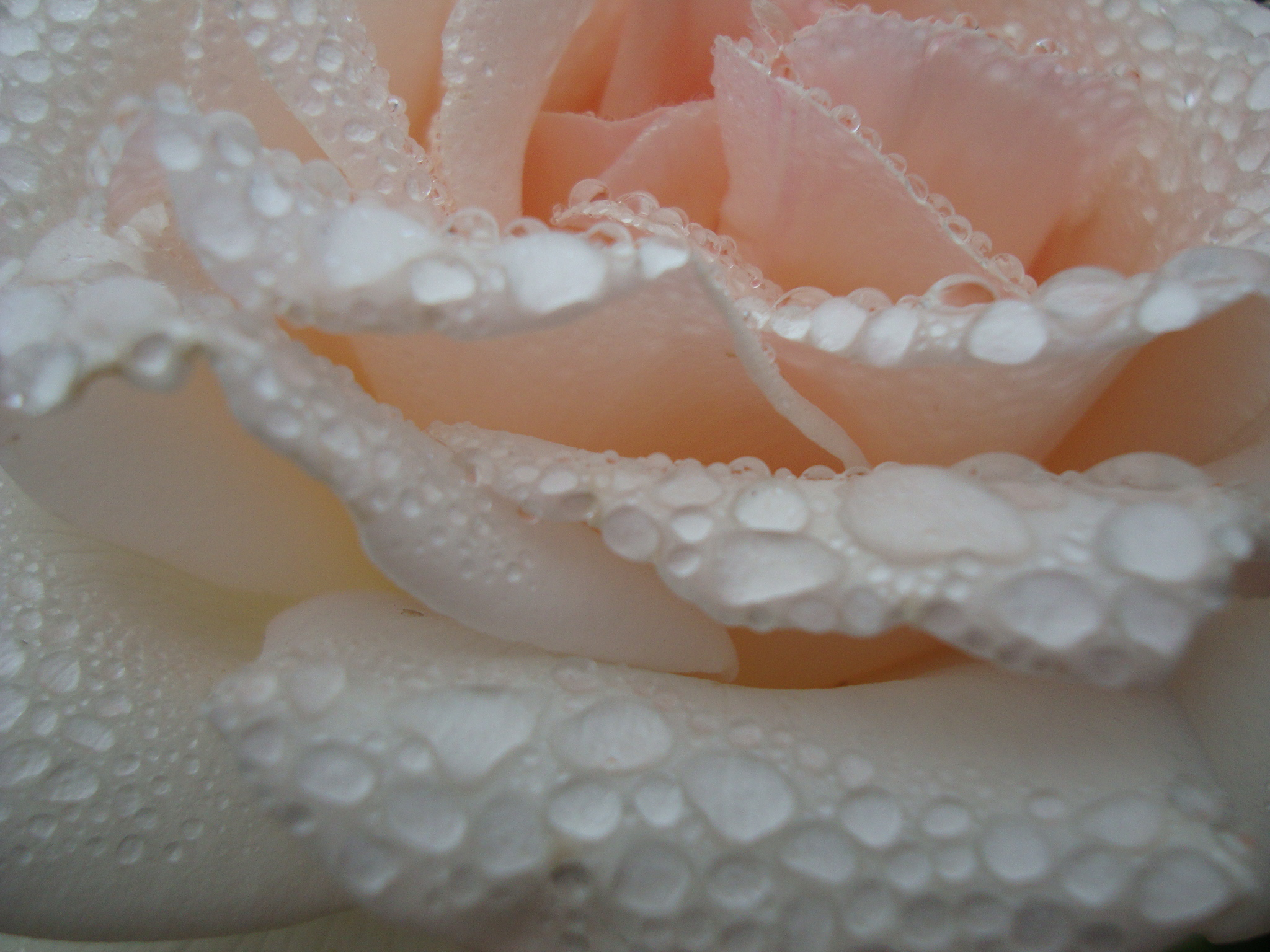 Roseblush Dew Drop by Maja Trochimczyk