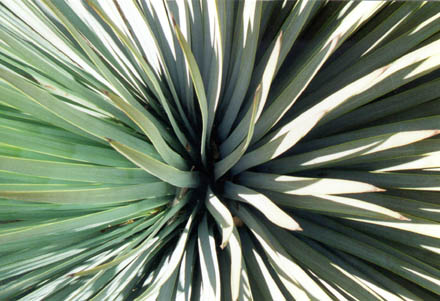 Yucca in San Gabriel Mountains, 2000.